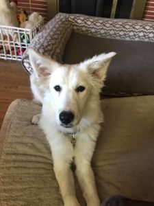 Jean Grey – 1yo Cattle dog/great pyrenese female