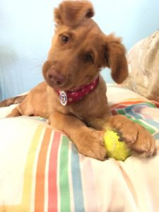 Miel – 3 mo Golden/Aussie female