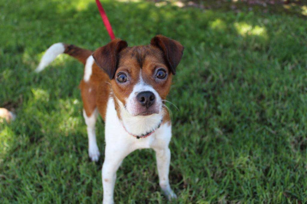 Kira – 1 year old rat terrier mix