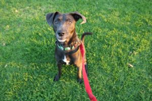 Wade – 1yr, male lab mix