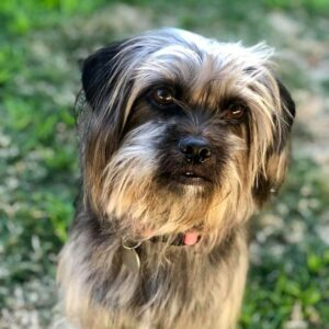Cookie 6yo female Shih Tzu mix