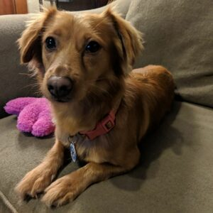Buttercup – 1yo spaniel mix
